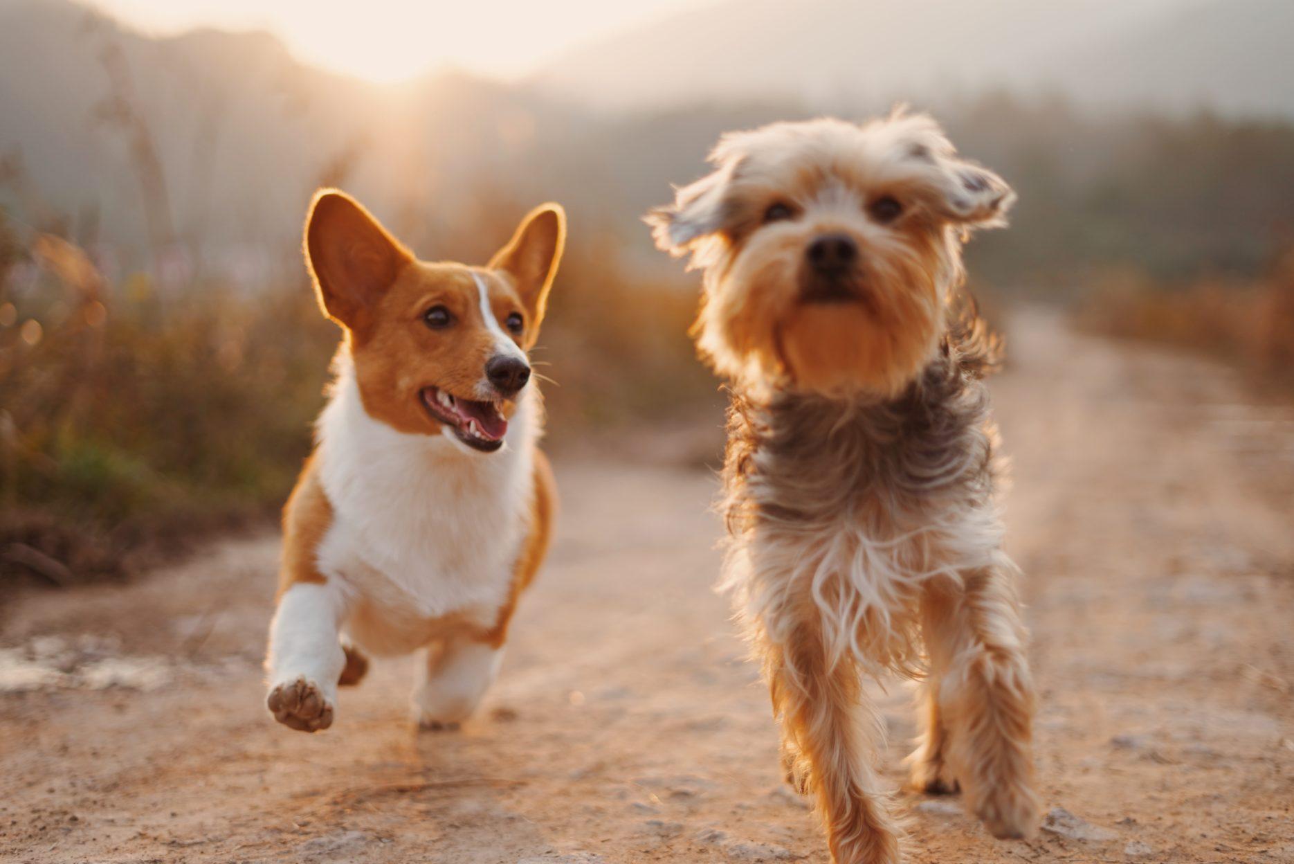 Dogs running through a field