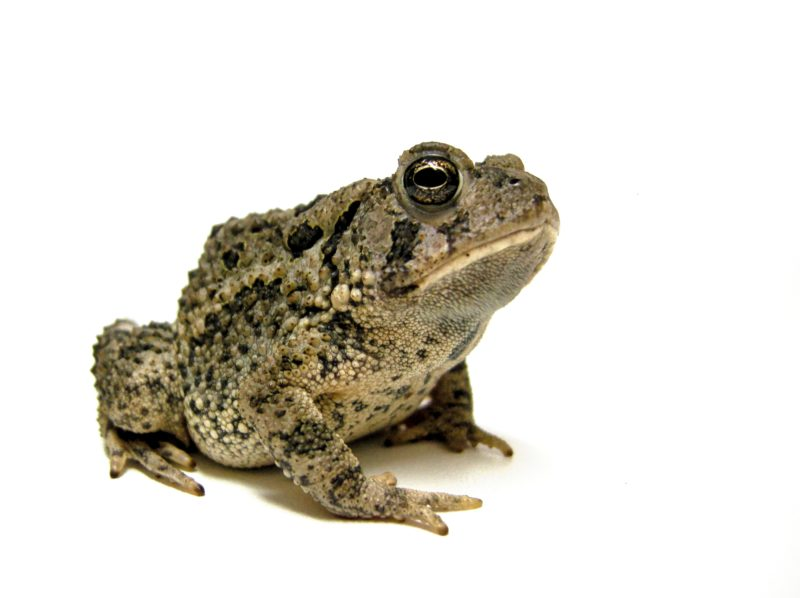 Toad with a white background