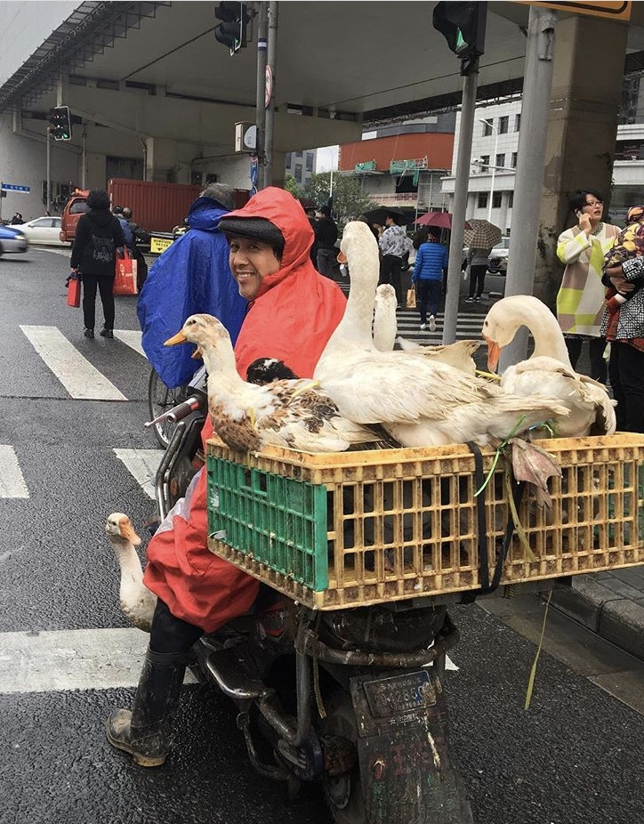Man with geese in the back of his motorbike