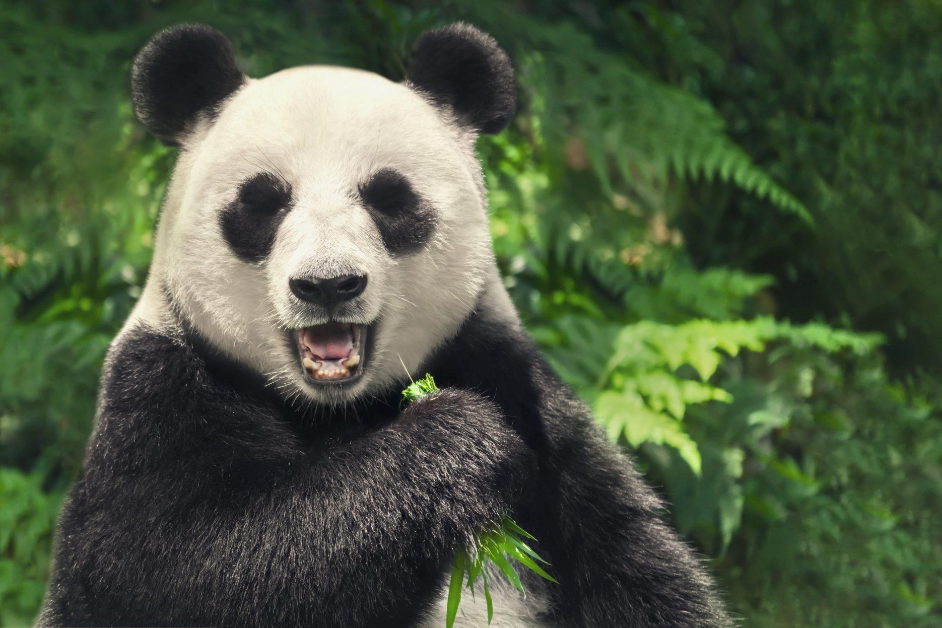 Pandas in China. Credit: Adobe Stock