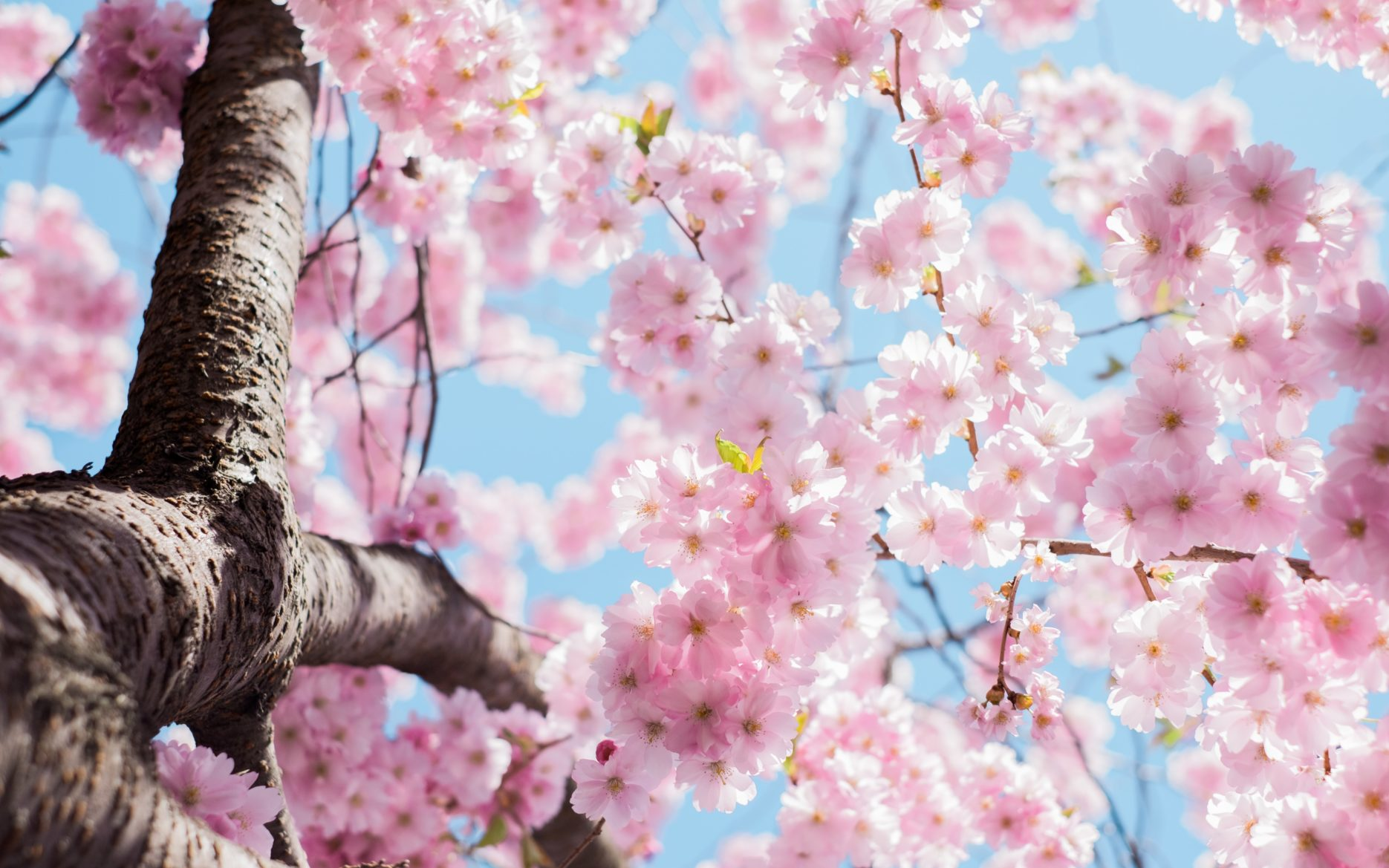 Cherry blossoms. Credit: Unsplash
